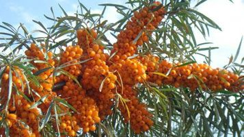 Study the Research Report of Seabuckthorn